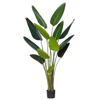 Giant Bird Of Paradise Plant Green