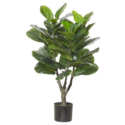 Giant Fiddle Plant Green 50x50x90cm