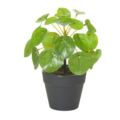 Money Plant with Garden Pot 20cm Green