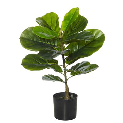 Giant Fiddle Plant Green