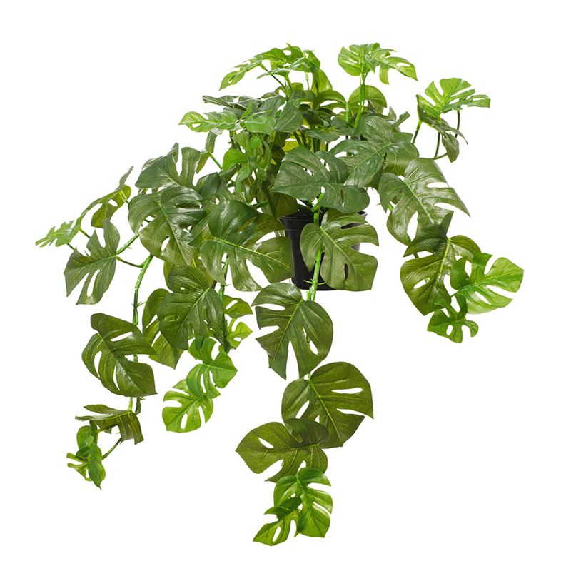 Monstera Hanging Bush in Pot 56cml x 27cmh